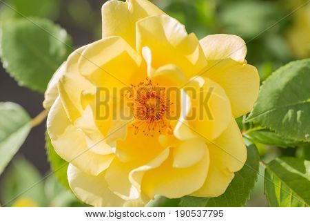 Augusta Luise Yellow Rose In Close Up Macro Image With Green Leaves Blurry Background
