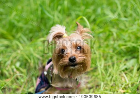 portrait of a purebred Yorkshire Terrier on the street, walkers in the background