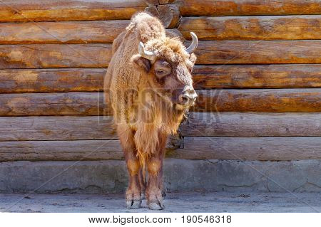 Image of a red bull near a wooden house wall