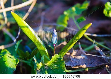 The first snowdrops (Scilla bifolia) in the forest of the Voronezh region