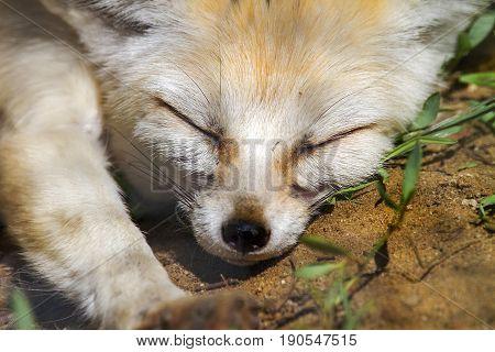 Animal Muzzle Of A Fox Who Sleeps