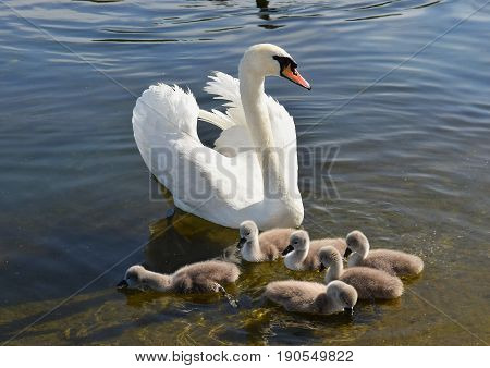 white swan with six chicks at the Round pond, Hyde Park, London, UK