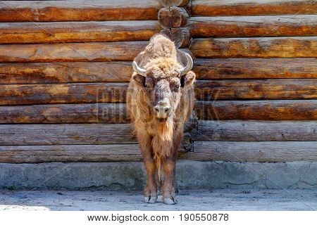 Animal Image Of An Adult Bull With Horns