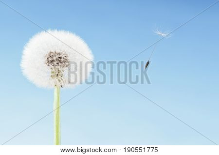 Concept of freedom. Overblown dandelion with seeds flying away with the wind. Copy space on blue sky
