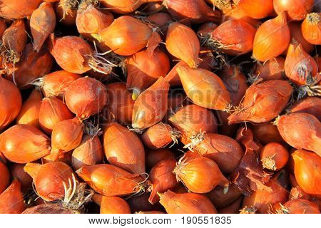 Abstract background of the small golden onion
