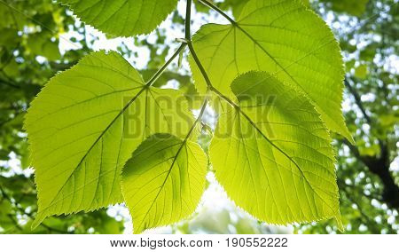 Spring green branch of linden tree glowing in sunlight