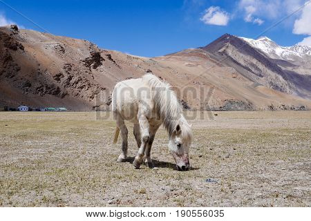 A white horse nibbling grass on the field at Leh Ladakh India