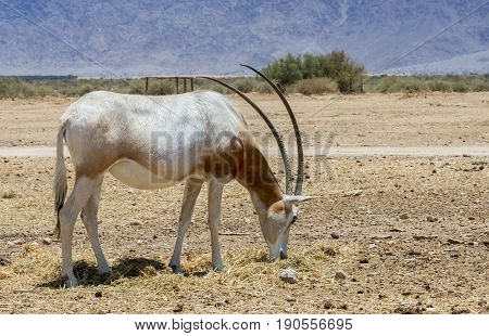 Antelope scimitar horn Oryx (Oryx leucoryx). Due to danger of extinction, the species was introduced from Sahara and adopted in nature reserve near Eilat, Israel