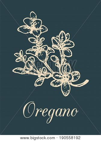 Vector oregano illustration on black background. Hand drawn sketch of aromatic plant. Culinary spice drawing. Botanical herb isolated for organic, bio, eco branding, logotype, label design etc.