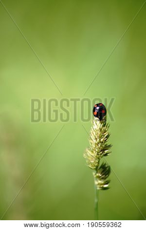 A black red dotted Asian ladybeetle or Harlequin ladybeetle on a grass.