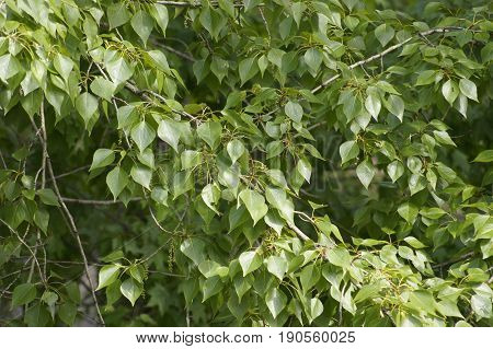 Green leaves and catkins on branches of poplar tree.