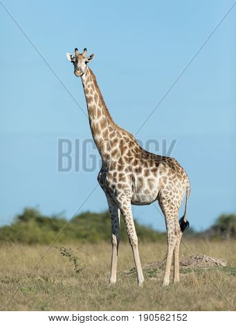 Female Southern Giraffe in the Savuti area of Chobe National Park in Botswana