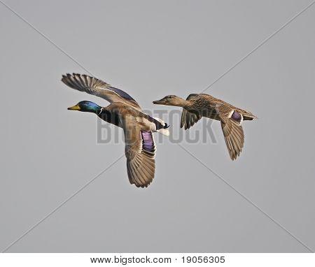 Male and Female Mallard in Flight