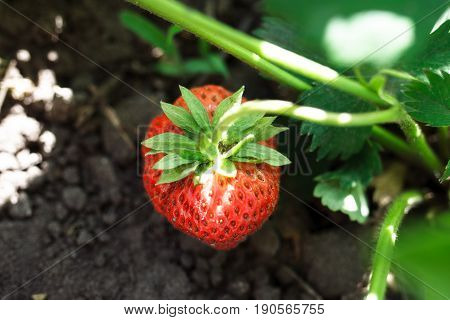 Grows And Ripens Strawberries. Strawberries Ripening In A Garden. Strawberry Branch With Ripening An