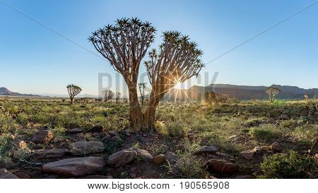 Quiver Tree (Aloe dichotoma) in the Namib Rand Nature Reserve in Namibia