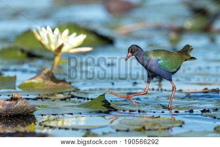 Allen's Gallinule Chobe River Botswana Porphyrio alleni