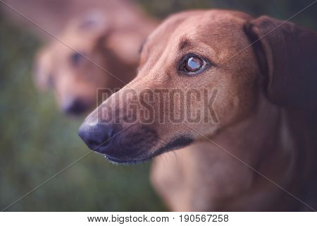 Dog staring at the owner with food.