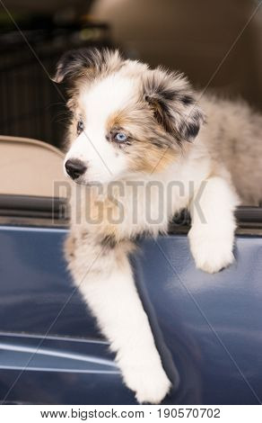 A very adorable canine with blue eyes hangs out car window
