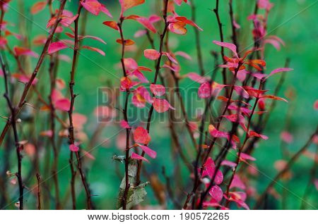 Brahches and twige of deep red barberry bush late autumn background