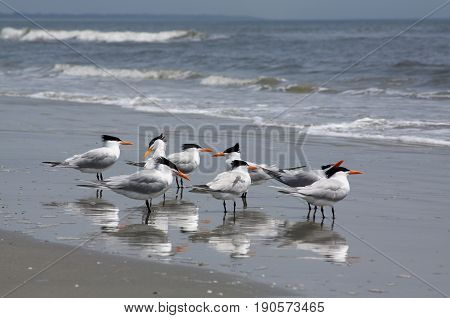Royal terns at Cumberland Island National Seashore.