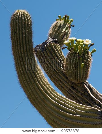 Blooming Saguaro Cactus at the Phoenix Sonoran Preserve. The white flower of the Saguaro is the Official State Flower of Arizona USA