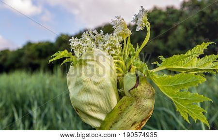 Closeup of a budding and white flowering Giant Hogweed or Heracleum mantegazzianum plant. The sap of giant hogweed causes phytophotodermatitis in humans resulting in blisters and long-lasting scars.