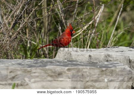 a male cardinal perched on a rock