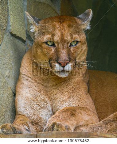 Beige Puma Lies In Its Place