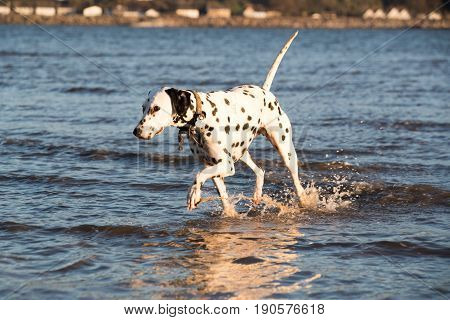Dalmatian Dog Walking In The Sea