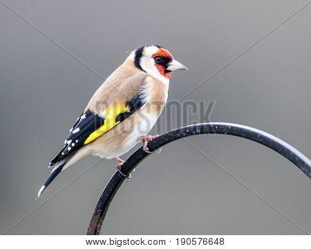 Goldfinch Garden Bird