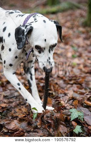 Dalmatian Dog Chewing A Stick In A Woods