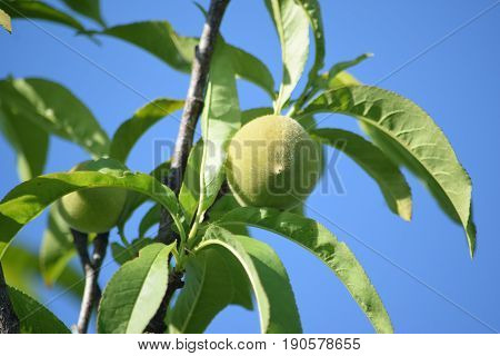 a peach that is ripening on the tree.