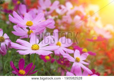Spring Multi-colored flowers nature. beautiful flowers.Flower Magnolia flowering. Beauty flower. Spring flower.