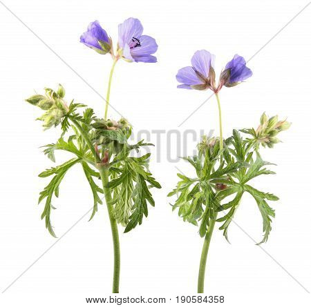 Meadow geranium or meadow cranesbill (Geranium pratense) isolated on white background. Medicinal plant