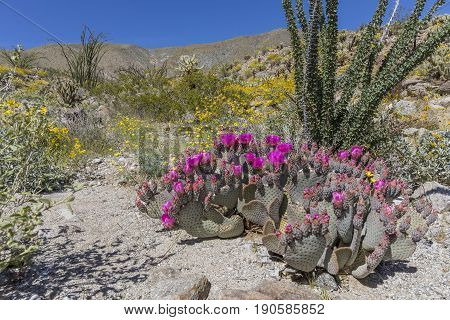 Beavertail Prickly Cactus And Wildflowers Blooming In Anza-borrego State Park, California