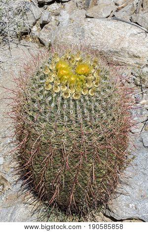 Barrel Cactus Flowering In Anza Borrego State Park, California