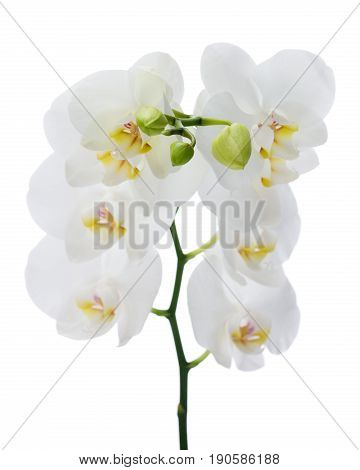 Delicate orchid branch blossoming with large white flowers isolated on white background. Blooming twig of Phalaenopsis orchid flower. Shallow depth of field.