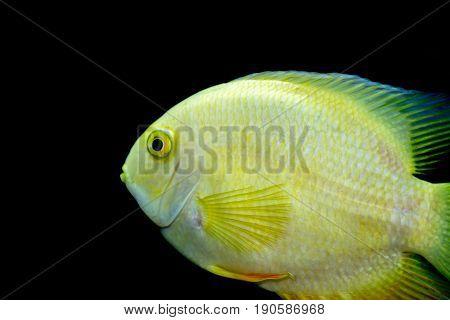 Female Golden Severum cichlid against black background Heros severus