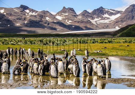King Penguins on the Island of South Georgia seen against a backdrop of mountains and Glaciers. South Georgia Island, Antarctica.