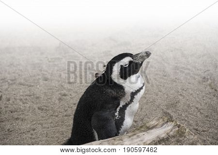 African penguin ( Spheniscus demersus) also known as the jackass penguin and black-footed penguin.