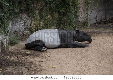 Resting Malayan Tapir also called Asian Tapir (Tapirus indicus)