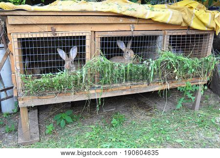 Breeding rabbits. Raising and Breeding Rabbits for Meat. Rabbit cage. Feeding Rabbits with green grass.