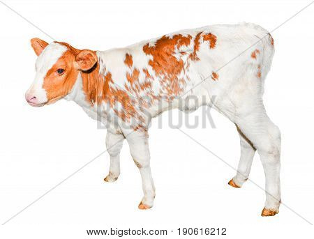 Beautiful  red and white spotted calf isolated on white. Funny red little cow full length isolated on white. Farm animals. The calf turned two weeks old