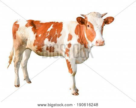Beautiful young red and white spotted cow isolated on white. Funny red cow full length isolated on white.