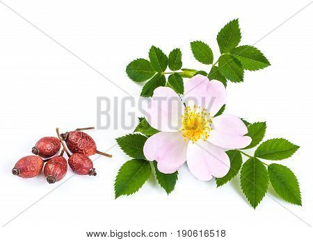 pink wild rose dogrose flowers with leafs and dried berries. white background