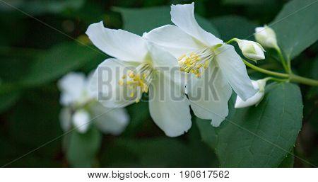 jasmine spring flowers closeup. jasmine flower at park on blurred green nature background