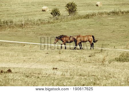 Two brown wild horses on meadow idyllic field. Agricultural mammals animals in natural environment.