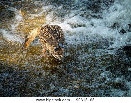 female mallard duck looking for food on a stone near a waterfall