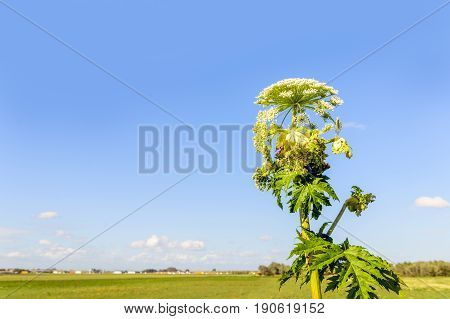 Giant Hogweed in different flowering stages on a sunny day. The sap of giant hogweed causes phytophotodermatitis in humans resulting in blisters and long-lasting scars.