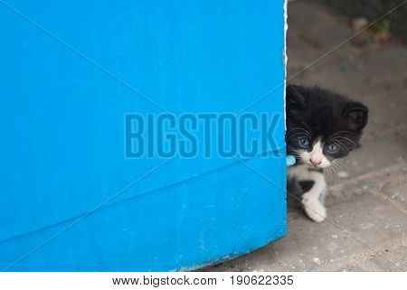 beautiful kitten looking out from the blue corner